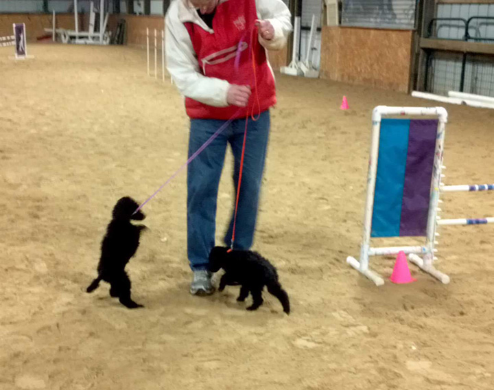 Wisconsin Standard Poodle Puppies